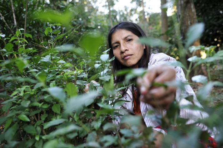 ladang stevia pemanis alternatif