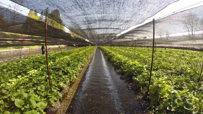 ladang wasabi di jepun