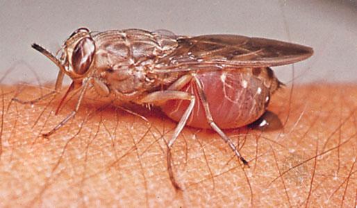 lalat tsetse hisap darah