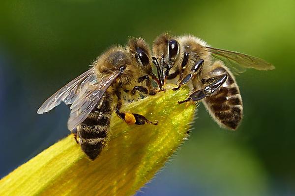 lebah madu mempunyai kebolehan pengenalan wajah