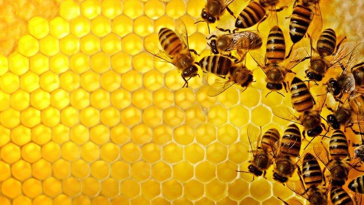 lebah madu mempunyai kemahiran matematik