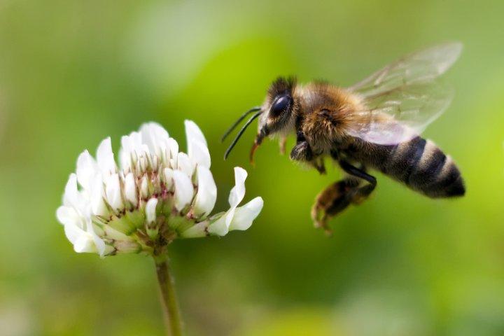 lebah madu menghampiri bunga