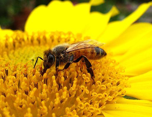 lebah madu tak tidur