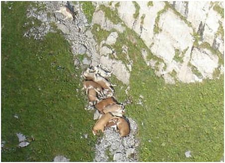 lembu bunuh diri terjun gunung
