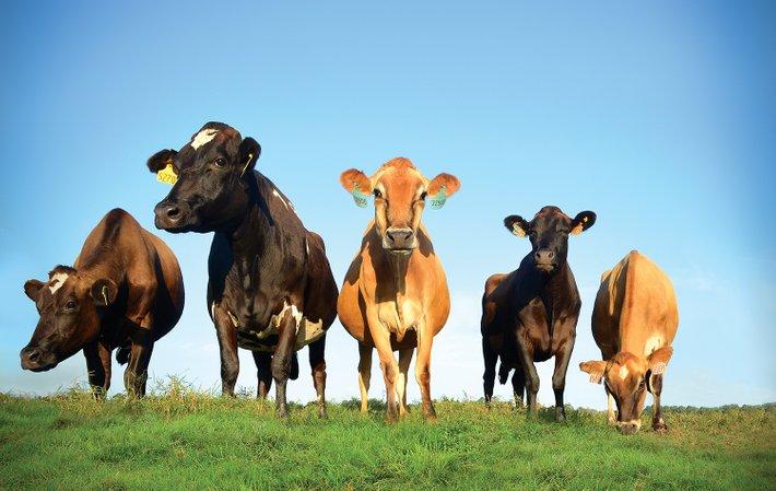 lembu memerlukan nutrien penting untuk tumbesaran sihat termasuklah bantuan daripada lebah