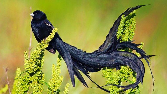 long tailed widowbird