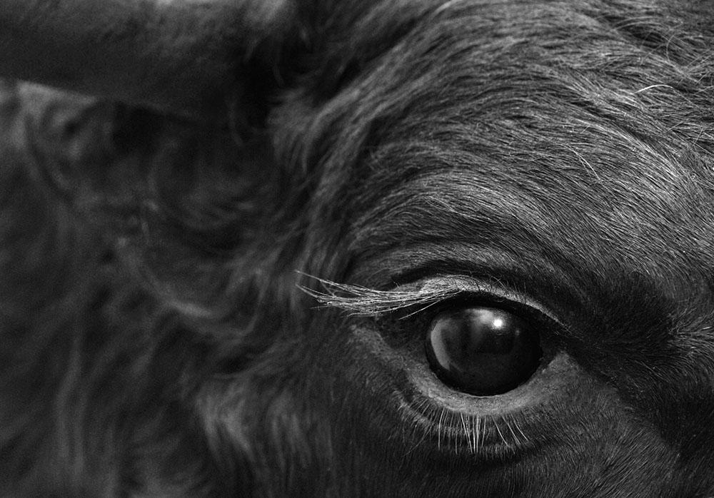 mata lembu