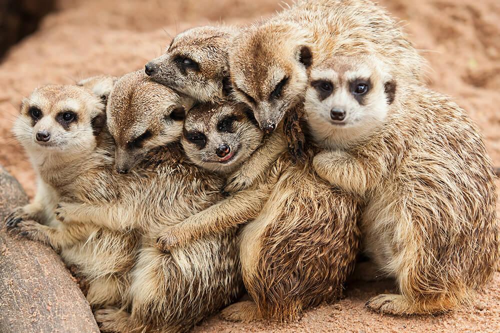 meerkats 8 haiwan dengan tabiat tidur yang pelik dan unik