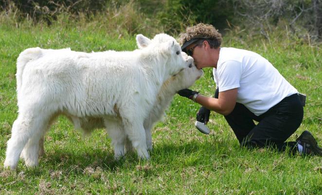 memberi ucapan tahun baru kepada lembu