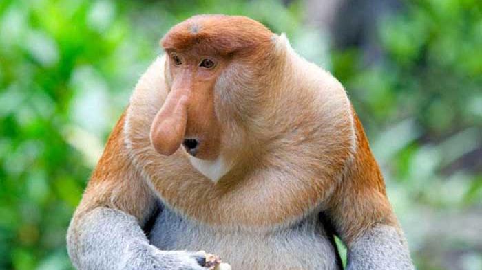 monyet berhidung mancung pobrosis