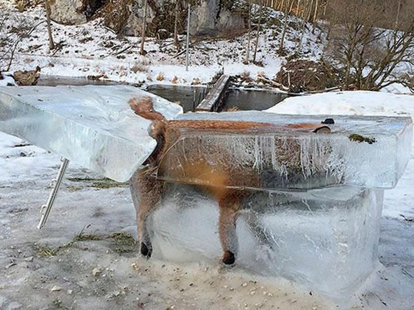 musang mati sejuk beku