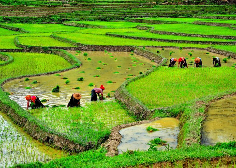 myanmar 10 negara pengeluar beras terbesar di dunia