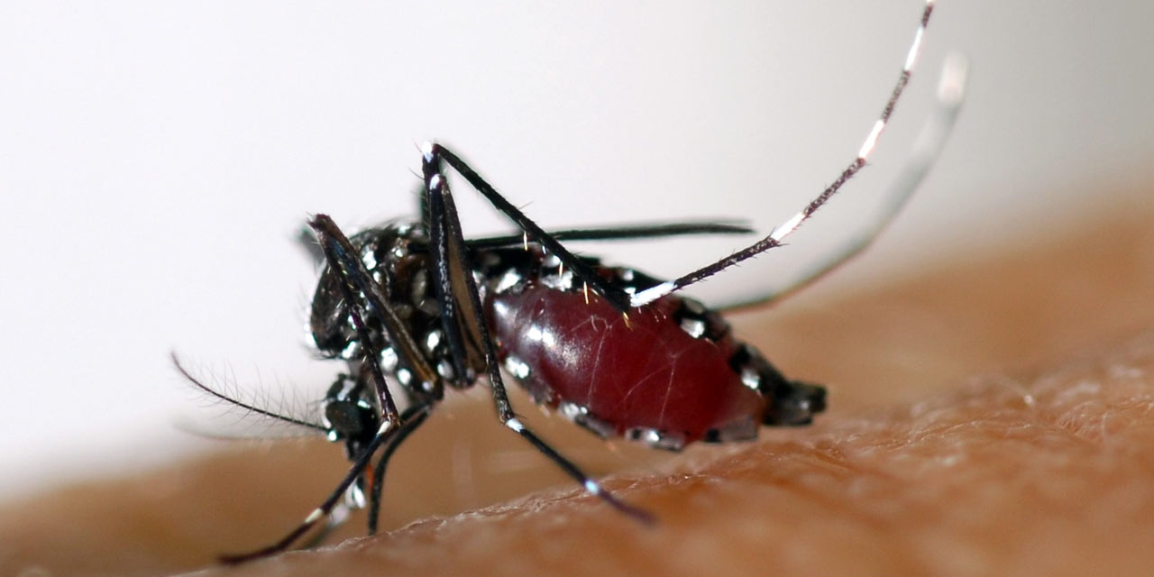 nyamuk aedes 825
