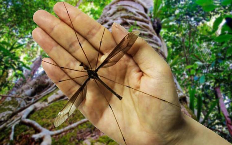 nyamuk paling besar di dunia 455 719