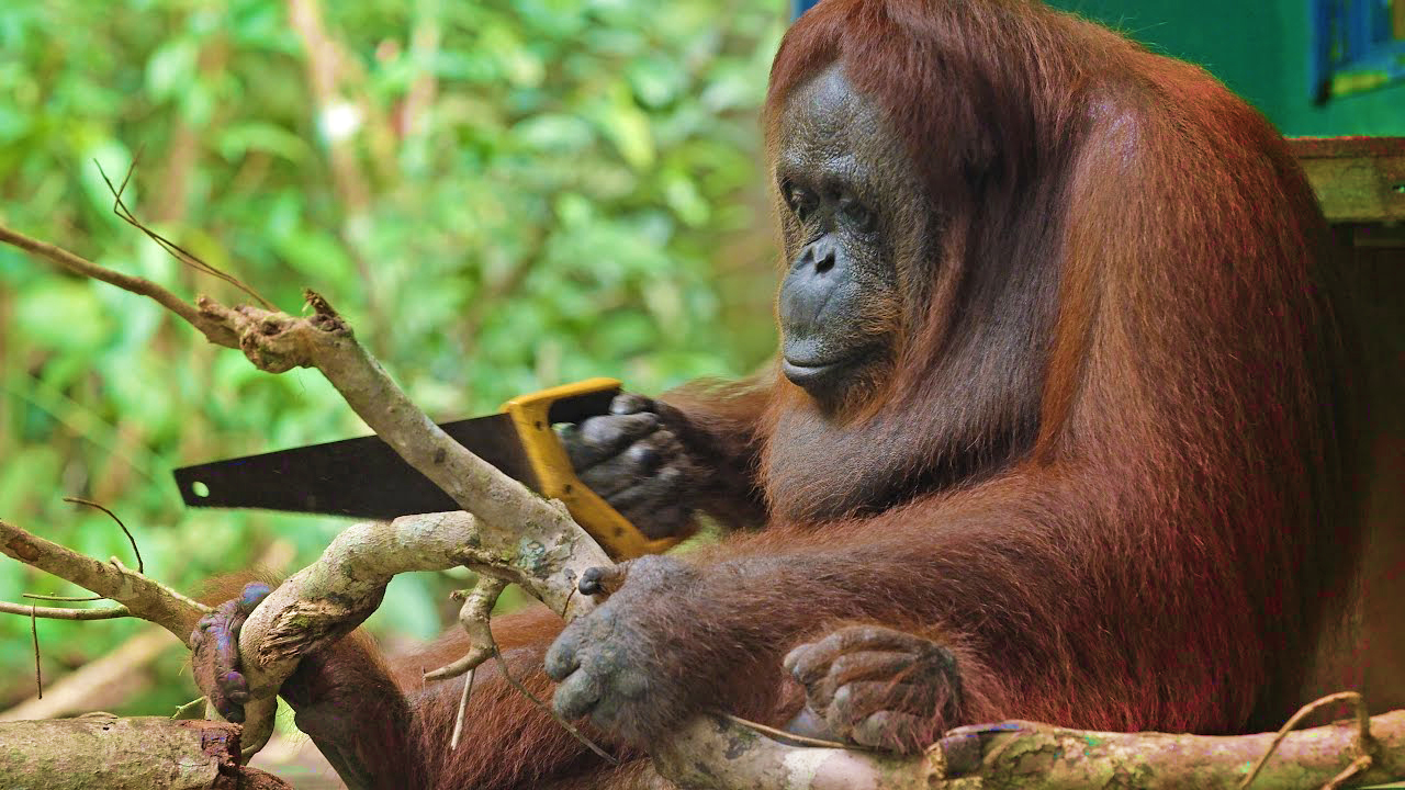 orangutan pakai gergaji potong pokok