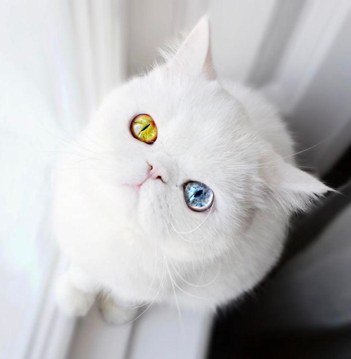 pam pam cat hetrochromia 3