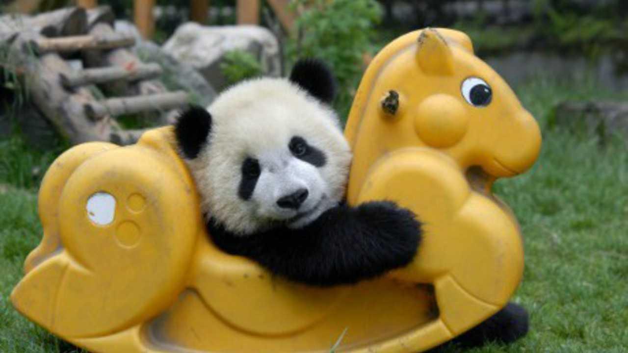 panda buat muka comel