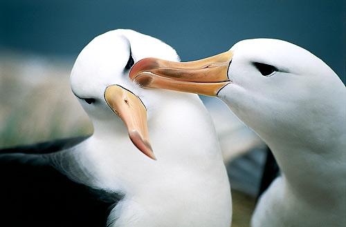 pasangan albatross