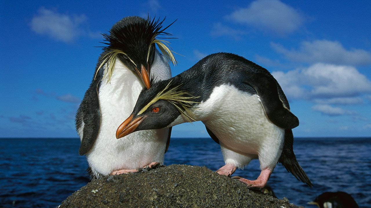 pasangan penguin comel