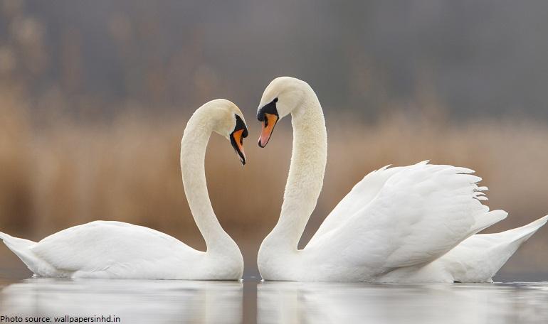 pasangan swan bercanda di air