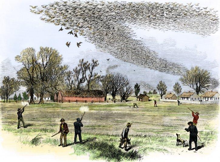 passenger pigeon flock 328
