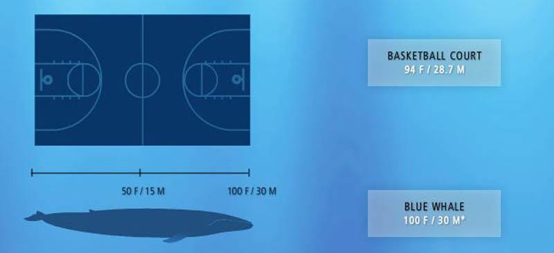 paus biru haiwan paling besar di dunia 2