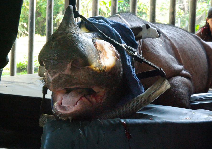 pembedahan badak sumatera