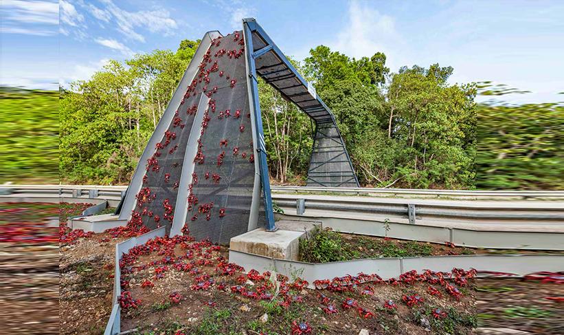 penduduk membina jambatan untuk ketam merah