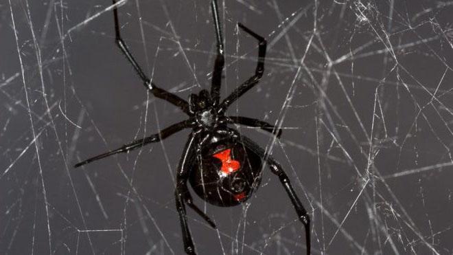 penghasilan bebenang oleh labah labah black widow