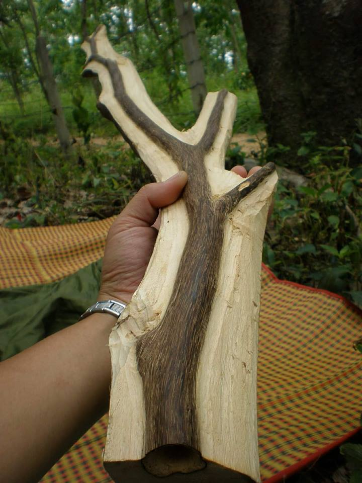 penghasilan kayu gaharu