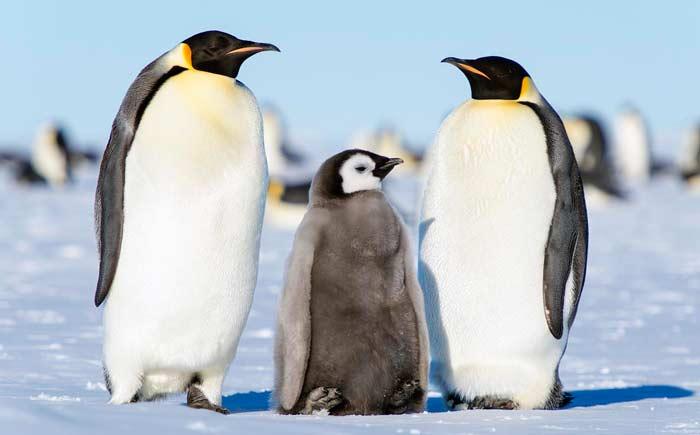penguin pasangan anak