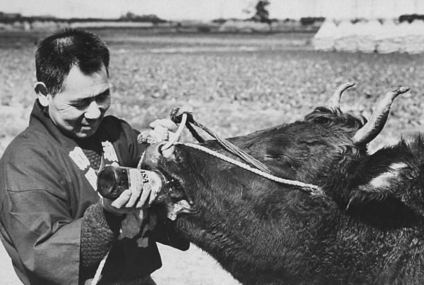 penternak memberi lembu minum