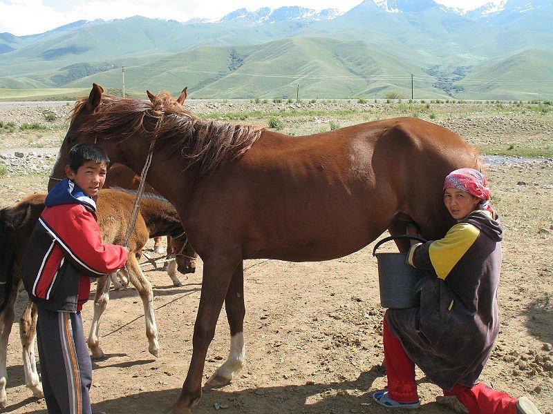 perah susu kuda untuk buat minuman airag