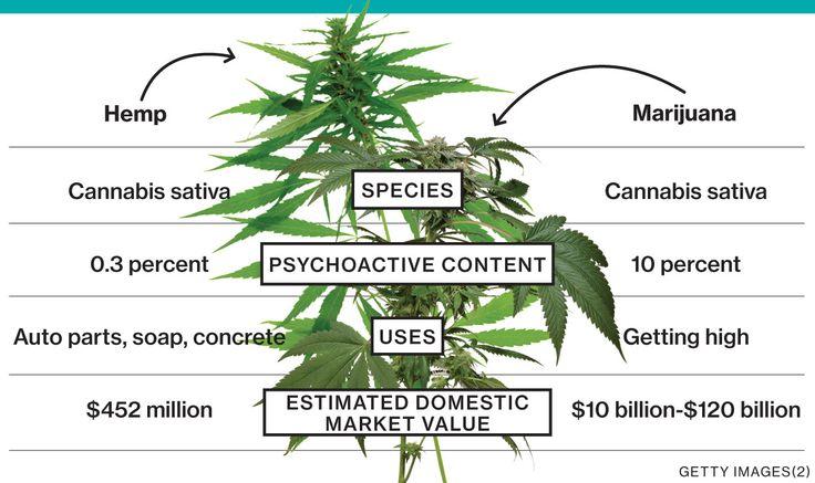 perbezaan marijuana dan hemp