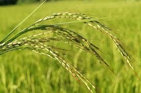 petani mengalami kerugian akibat padi angin