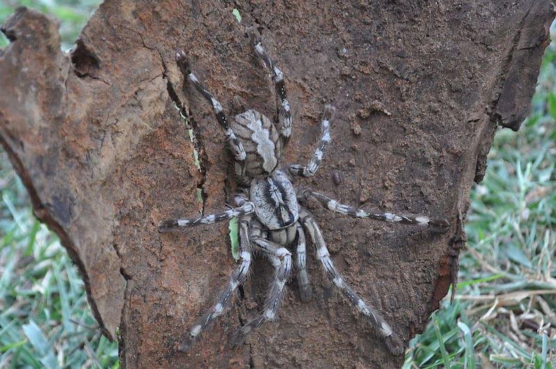 poecilotheria rajaei labah labah paling besar di dunia