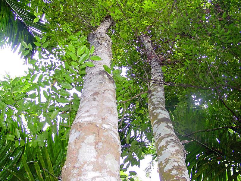 pokok aquilaria malaccensis