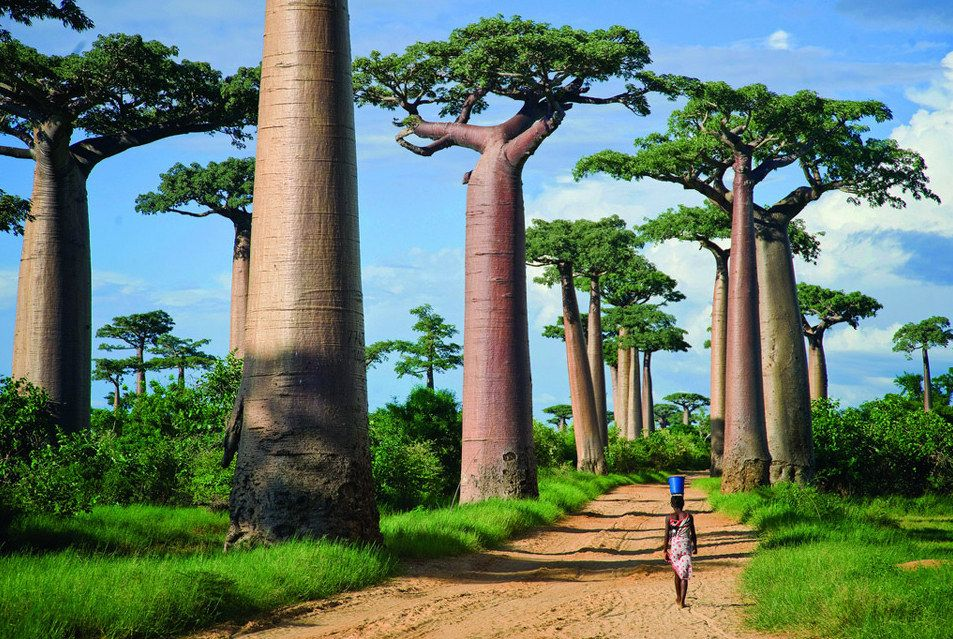 pokok baobab 808