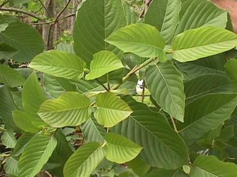 pokok biak