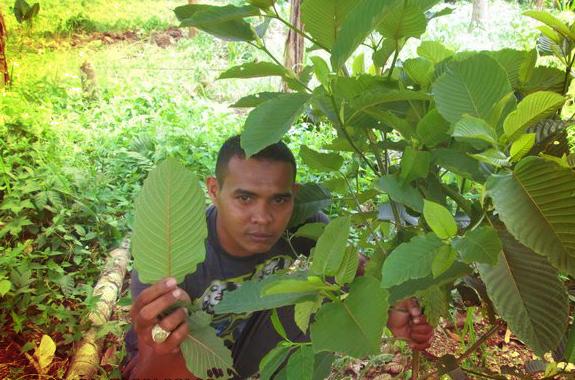 pokok ketum dan daunnya