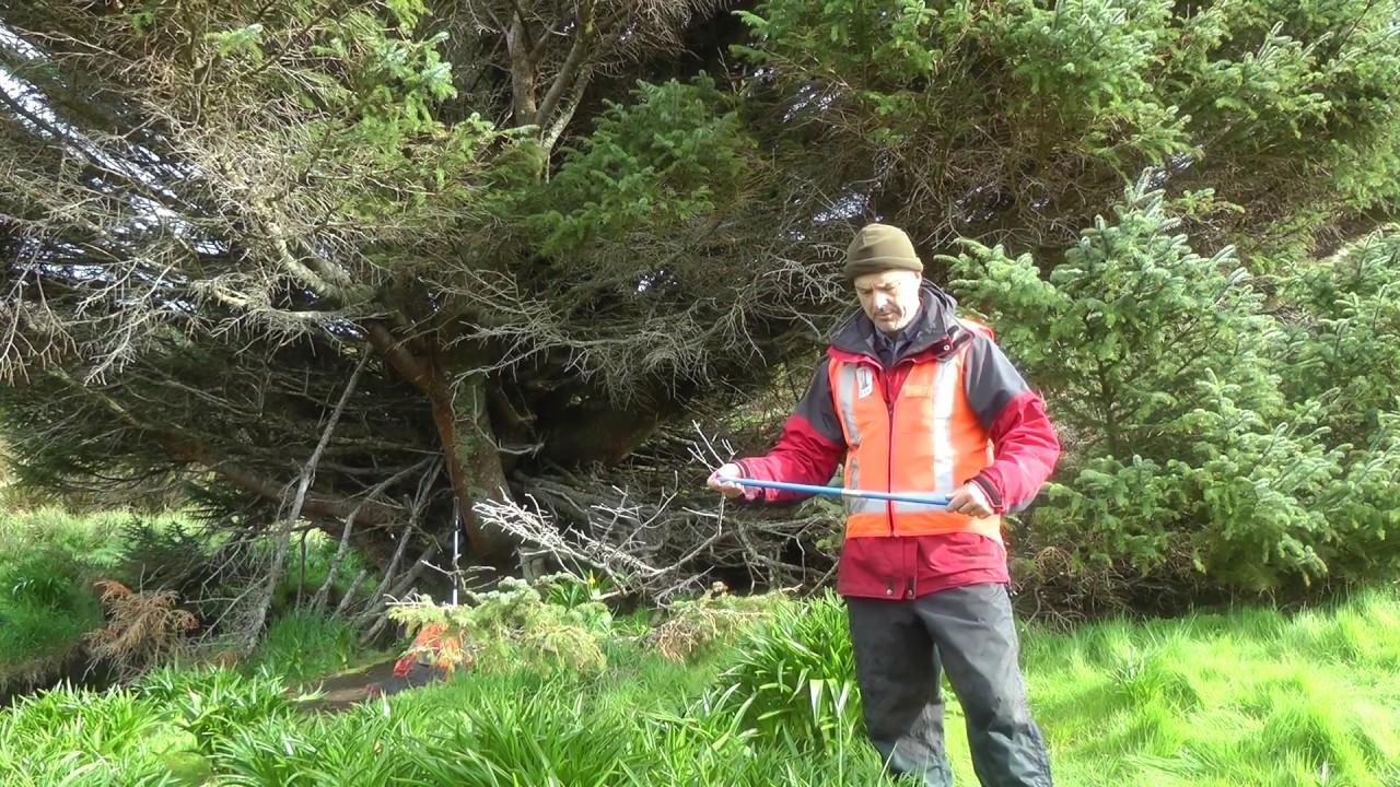 pokok paling terpencil dan kesunyian di dunia sitka spruce new zealand saintis membuat kajian