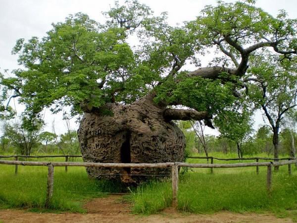 pokok penjara boab