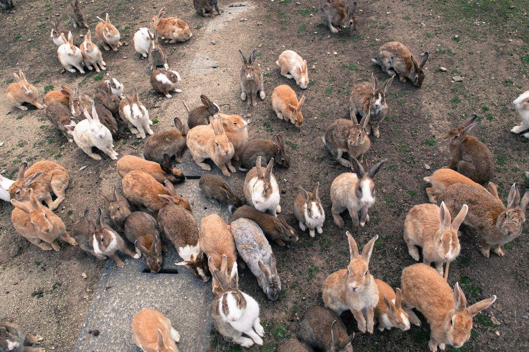 populasi besar arnab okushinama