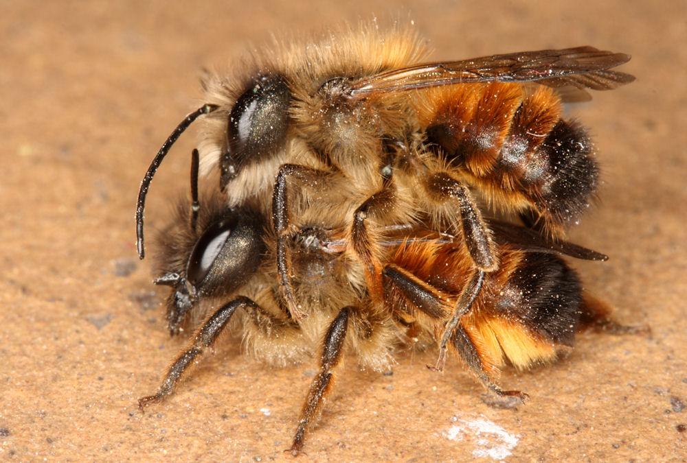 proses mengawan lebah madu yang menyedihkan