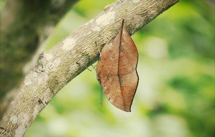 rama rama daun mati teknik penyamaran haiwan