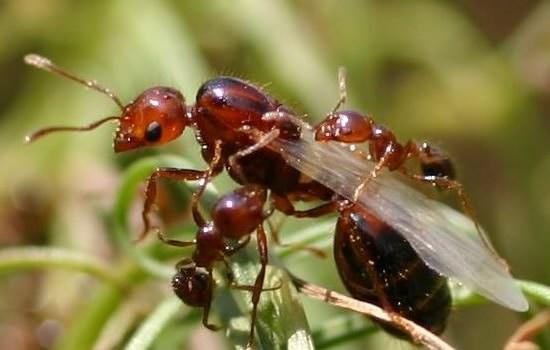 ratu semut bersayap