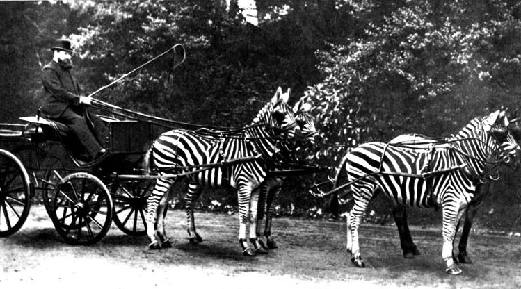 rothschild zebras