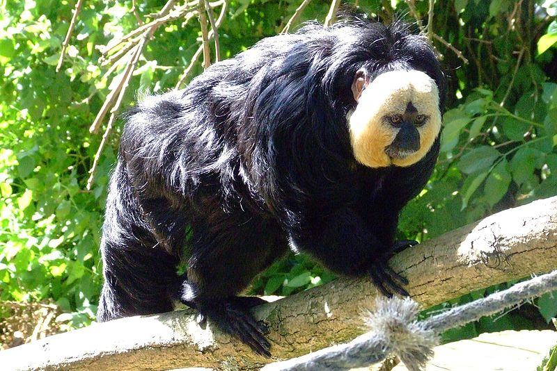 saki monkey 3