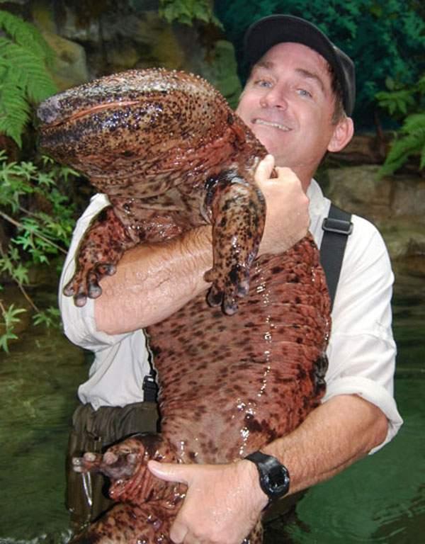 salamander gergasi china haiwan paling besar di dunia
