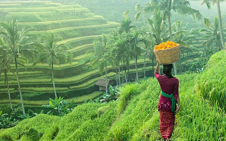 sawah padi di bali ubud